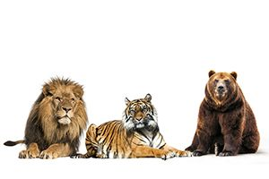 Are You A Lion, A Tiger, Or A Bear?