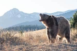 Are You A Black Bear Or Grizzly Bear?