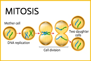 Which Phase Of Mitosis Are You?