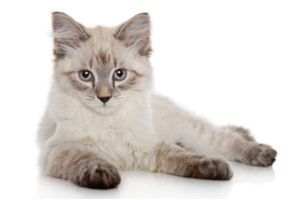 What Cat Breed Are You?